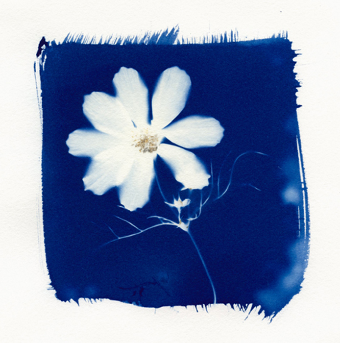 cyanotype, anthotype, analog